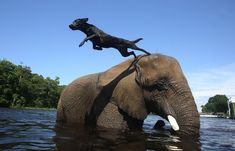 And she can be your very own personal diving board. | No Friendship Can Compare To This One Between A Dog And An Elephant
