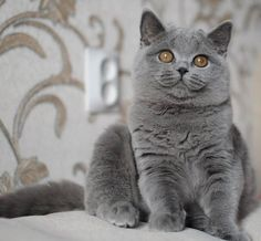 Fluffy Kittens, Fluffy Cat, Cats And Kittens, Grey Cats, Blue Cats, Funny Cats, Funny Animals, Cute Animals, British Shorthair