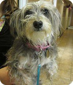 Oak Ridge, NJ - Schnauzer (Miniature)/Yorkie, Yorkshire Terrier Mix. Meet Sophie, a dog for adoption. http://www.adoptapet.com/pet/12204969-oak-ridge-new-jersey-schnauzer-miniature-mix