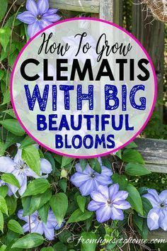 Container Gardening For Beginners Great tips for growing Clematis! It's my most favorite perennial vine for shade gardens with such big beautiful flowers. Learn more about Clematis care and pruning. Clematis Care, Blue Clematis, Clematis Plants, Autumn Clematis, Clematis Trellis, Clematis Flower, Part Shade Perennials, Shade Plants, Sun Plants