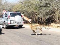 Only in the Kruger...an Impala that made world news by jumping into car to save it own life from the leopards chasing it ..funny...video on YouTube