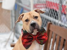 TYLER - A1099321 - - Brooklyn  Please Share:TO BE DESTROYED 12/31/16 A volunteer writes: Heartbreaker alert! Glowing with good health, well-muscled, with a large, noble head, Tyler has a flirtatious twinkle in his eye that says: Wanna play? He's game for fetch and could also probably do some sumo wrestling, but that's not really Tyler's style. Though on the larger side, he is also unexpectedly gentle, with a cute, sashaying gait that calls to mind a runway