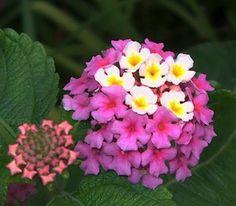 50 Hot Pink and Yellow Fresh Lantana Seeds