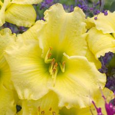 "<p>Daylily 'Omomuki' has excellent 5"" ruffled clear yellow blossoms with a bright green throat, a light fragrance, and an extended blooming time. 26""-EM-EXT-FR-D-TET</p>"