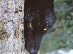 What Kind Of Wolf Are You? Black Wolf--You are misjudged. You prefer to hide from misconceptions of yourself, but you aren't afraid to stand up for your pack.