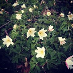 Anemoner. My favorite flower <3