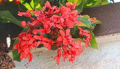 Clerodendro-vermelho. Nome científico: Clerodendron splendens.