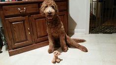 """""""Fletcher"""", my 10 mos old goldendoodle puppy dog (Nov 2014)"""