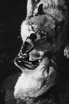 animals Black and White wolf MY EDIT dark nature fight wolves wild angry wolf