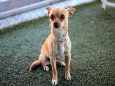 CORINA - URGENT - L.A. COUNTY ANIMAL CARE CONTROL: CARSON SHELTER in Gardena, CA - Young Spayed Female Chihuahua Mix