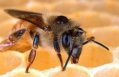 Ernies Place: Honey Bee Mites