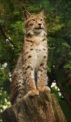 'Call of Nature' - photo by Aleksandar Vasic, via 500px;  Lynx?