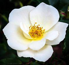 A Whiteout Rose Flower Garden Shrubs, Flowering Shrubs, Knockout Roses, Rose Online, Shrub Roses, Single Rose, White Cups, Months In A Year, Large White