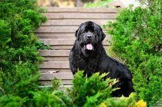 Порода собак ньюфаундленд - верный друг и отважный спасатель (фото): описание, характер, уход