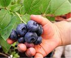 Obří borůvka KANADSKÁ2 Farm Life, Blueberry, Flora, Fruit, Plants, Gardening, Drop, Compost, Balcony