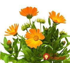 Calendula flowers are very easy to grow and useful in both your beauty regime and kitchen. Calendula Tea, Infused Oils, Korn, Planting Seeds, Marigold, Flower Petals, Lawn And Garden, Dried Flowers, Outdoor Gardens