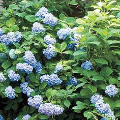 The Complete Guide to Essential Southern Plants: Hydrangea, Southern Living, The Grumpy Gardener