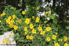 Engelmann's Daisy – Engelmannia peristenia - Cutleaf Daisy - 20 seeds - Drought Tolerant by Garden4Butterflies on Etsy