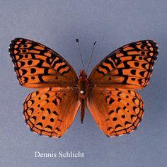 Speyeria aphrodite (Dennis Schlicht)