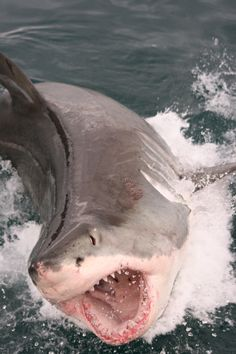 A great white can launch itself out of the water at speeds of 50-60 km/hr