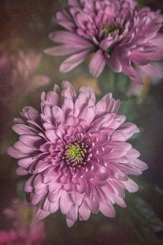#Chrysanthemums #purpleflowers #fineartflowers