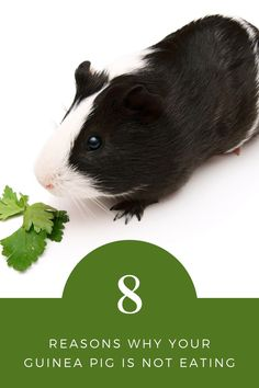 Reasons why your guinea pig is not eating   What does it mean when your guinea pig doesn't eat   What do you do if your guinea pig won't eat   Syringe-feeding your guinea pigs   Can guinea pigs die from not eating   #guineapigs #smallpets #pets