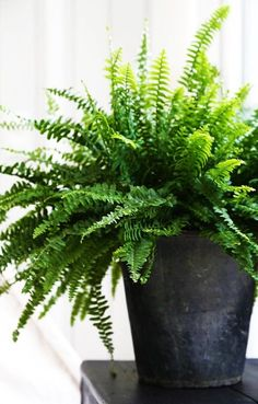 Today I've got 5 indoor plants which can survive almost in the dark with little fuss. I wrote a post a few months ago on the best Indoor Plants, but I've narrowed it down to just a few that are hard to kill! Last week I needed a bit of retail therapy… Best Indoor Plants, Indoor Garden, Home And Garden, Indoor Ferns, Potted Ferns, Boston Ferns, Fresh Farmhouse, Deco Floral, Green Plants