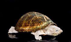 Razor-backed Musk Turtle - Sternotherus carinatus