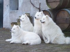 Four beautiful Samoyeds sitting in front of the house