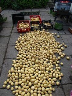 Aardappelen geoogst en gewassen