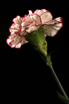 Carnations iPhone Wallpaper | iDesign * iPhone