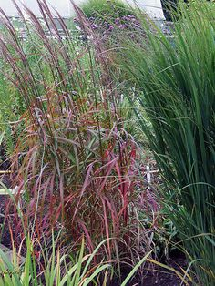 Miscanthus oligostachyus - creates a rustling sound in the wind. Not sure this is named correctly as its not found on the rhs website. Well drained moist soil. Tolerant of different soils.
