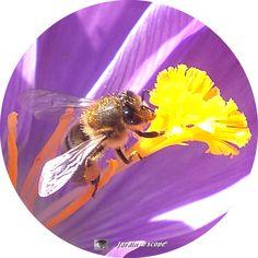 Le retour des abeilles annonciatrices du printemps