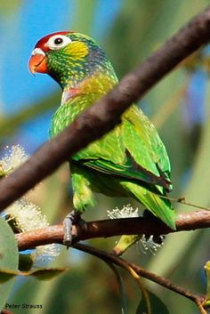 Lori Versicolor - Psitteuteles versicolor  Descripción: De 19 cm. de longitud y un peso entre 50 y 60 gr.El Lori Versicolor (Psitteuteles versicolor) tiene la frente