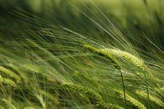 Spighe di grano  capo d'acqua (Abruzzo) ©MarinaFreddo