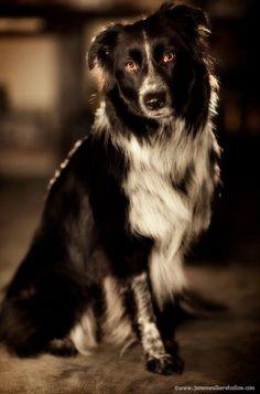 Border Collie. El perro más listo, según los especialistas, es el Border collie (en español Collie de la frontera). Además de por su inteligencia, esta raza de perro de pastor destaca por su tremenda fidelidad y su instinto para servir al hombre