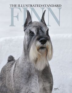 Finn Standard Schnauzer Working Dog All Breed. Finn is the third highest ranked dog in the history of the breed. Schnauzer Cut, Schnauzer Grooming, Standard Schnauzer, Giant Schnauzer, Miniature Schnauzer, Pet Grooming, Schnauzers, Dog Pin, Large Dog Breeds