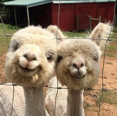 Watch all of the animals in Gore Farm. A wide selection of animals including Donkeys, Rabbits, Shetland Ponies, Pigs, Wildfowl and Alpacas. Happy Animals, Cute Funny Animals, Cute Baby Animals, Funny Cute, Animals And Pets, Wild Animals, Farm Animals, Alpacas, Lama Animal