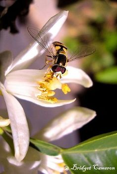 Hoverfly (Eupeodes corolae) drinks nectar from Tangelo flower. Funny Animals, Magic, Drinks, Eat, Flowers, Beautiful, Drinking, Beverages, Funny Animal