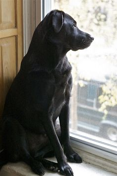 Black lab at the window