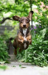 Dachshund Dog Breed Information Pictures Characteristics Facts Dachshund Dog Dog Breeds Pictures Dog Breeds