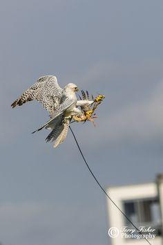 Gur Falcon catches the Lure DorsetCountyShow-9892