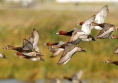 http://www.valleywildlife.net/wp-content/uploads/2013/01/Redhead-ducks-in-flight.jpg