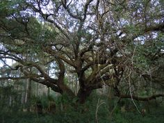 florida swamp vegetation grasses | gnarley laurel oak when plantations die plants grow on plants