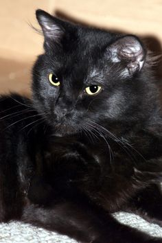 Hi, I am Smith, and I am, according to my foster mom, the perfect cat! I am very fluffy with the sweetest paws that are round and look almost like furry paddles. My foster mommy loves my feet because she thinks they're very cute. I have a very...