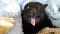 Le 23 février dernier à Brisbane en Australie, les précipitations abondantes ont rendu très difficile l'approvisionnement alimentaire des chauves-souris. Cette chauve-souris frugivore, de race renard volant noir, a été sauvée par une femme après avoir été découverte coincée dans un filet de protection pour les arbres fruitiers. Affamé, l'animal a été recueilli par Batzilla et soigné puis a eu le droit de manger une banane, qu'elle semble grandement apprécier !