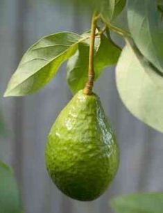 How to grow avocados is a question with a few answers possible. First it depends on how soon and if you want the tree to fruit. Grown from the seed an avocado fruit will take about ten years to mature and bear fruit - and this will only happen if...
