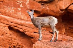 James Marvin Phelps posted a photo: Curiosity Stop Desert Big Horn Sheep Lamb Valley of Fire State Park Overton, Nevada Valley Of Fire State Park, Big Horn Sheep, Fire Photography, Sheep And Lamb, Canvas Prints, Art Prints, Curiosity, State Parks, Horns
