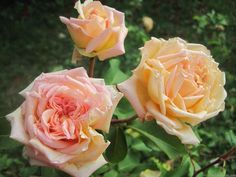 'E. Veyrat Hermanos' Rose by HelpMeFind.com user Linda's Long Ago Roses