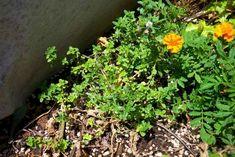 Φυτεύω βότανα: ευωδιαστό θυμάρι   Άρθρα   Bostanistas.gr : Ιστορίες για να τρεφόμαστε διαφορετικά Plants, Plant, Planets